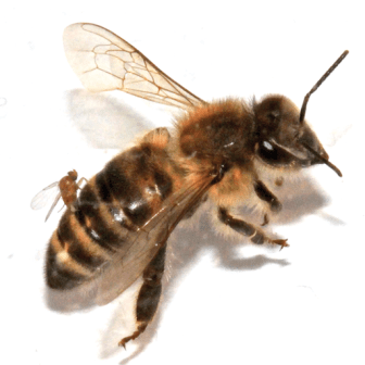 Buckelfliege Bienen, Buckelfliege Bekämpfung,Female Apocephalus borealis ovipositing into the abdomen of a worker honey bee