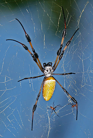 English: Golden-silk Spider (Nephila clavipes)...