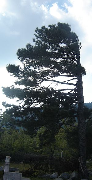 Effect of prevailing wind on a coniferous tree...