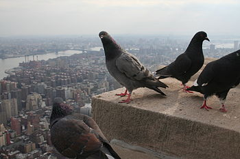 Rock Doves on the Empire State Building