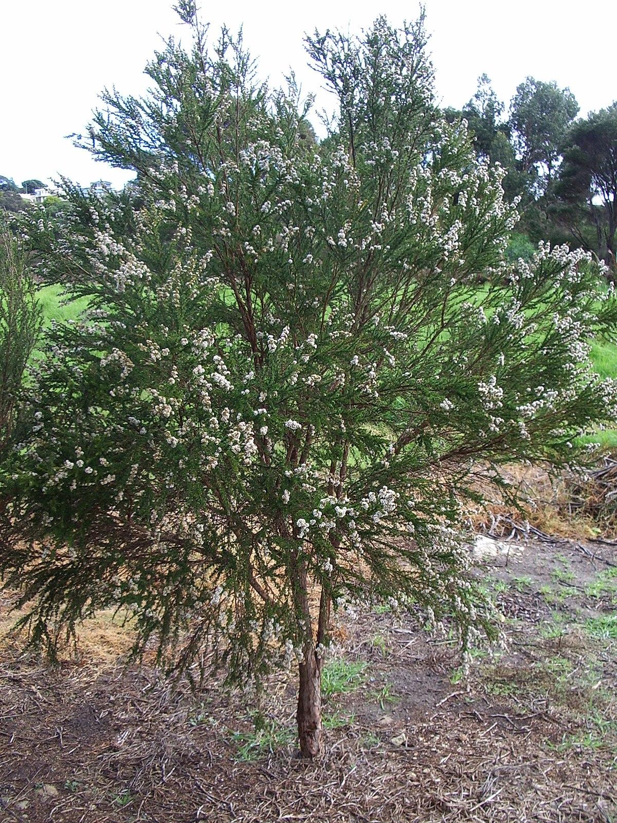 Taxandria juniperina  Wikipedia