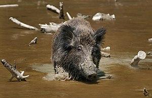 The Wild Boar (Sus scrofa) is the wild ancesto...