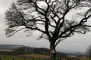 English: Ahem! Road sign and tree at Kirkbuddo.