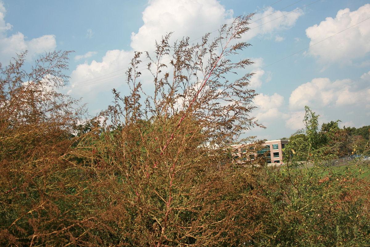 Ambrosia trifida - Wikimedia Commons