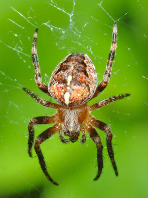 This image shows a European garden spider (Ara...