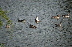 Bird, Vogel, Gans, Goose,Gänse, fressen, tauch...