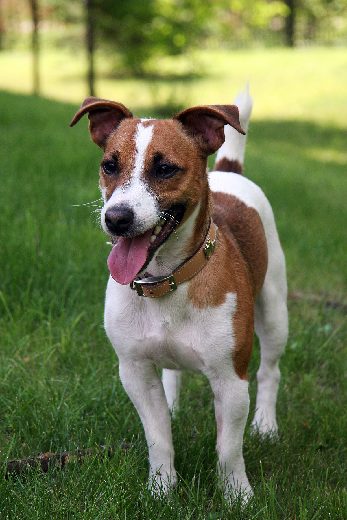 Max Movie Dog Breed : movie, breed, Russell, Terrier, Wikipedia