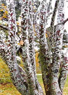 Pinus bungeana  Wikipedia
