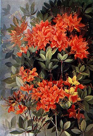 Flame Azalea, Rhododendron calendulaceum offse...