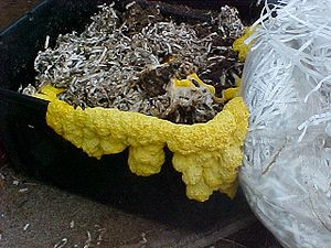 English: Slime mold growing out of bin of wet ...