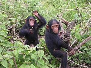 English: Young chimpanzees from Jane Goodall s...