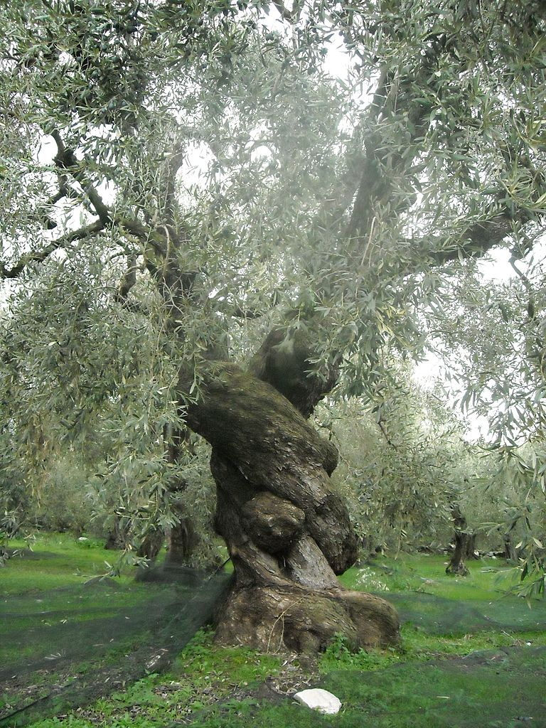 Ancient Lampstand File:ancient Olive Tree In Pelion, Greece.jpg - Wikimedia