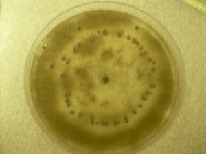 Botrytis cinerea growing on a PDA