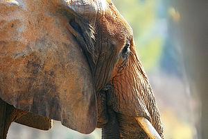 English: Elephant