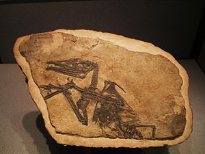 English: Fossil of Eudimorphodon ranzii, an ex...