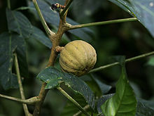 https://i0.wp.com/upload.wikimedia.org/wikipedia/commons/thumb/f/f2/Hura_crepitans_%28fruit%29.jpg/220px-Hura_crepitans_%28fruit%29.jpg