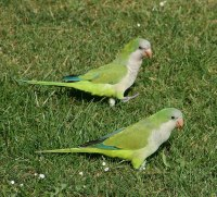 File:Monk parakeets in a Brussels park.jpg - Wikimedia Commons
