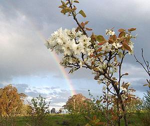 Nashi pear tree in bloom