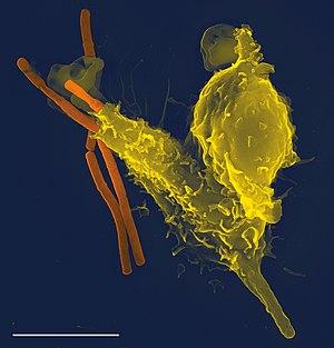 Neutrophil engulfing anthrax bacteria, taken w...