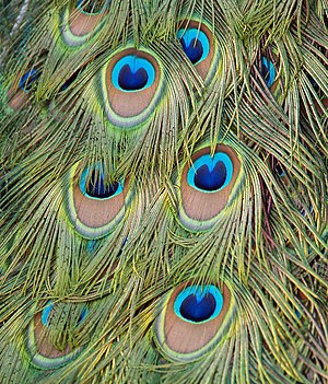 English: Feathers of a Blue Peafowl (Pavo cris...