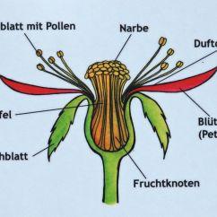 Rose Flower Plant Diagram Steering Wheel Spacer 5mm Diagrams Wikimedia Commons
