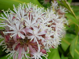English: Dracaena fragrans (flowers). Location...