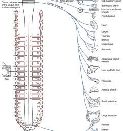nervou system diagram full neorn [ 1200 x 1843 Pixel ]
