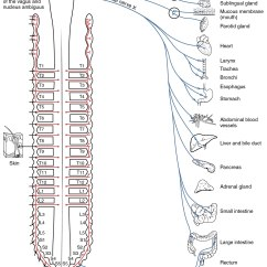 Motor Control Center Wiring Diagram Activity Library Autonomic Nervous System - Wikipedia