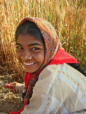 A woman of the Ahir tribe harvesting wheat in ...