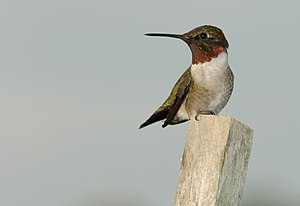 Male Ruby-Throated hummingbird (Archilochus co...