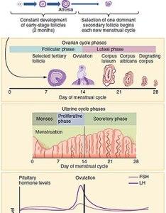 Menstrual cycle also wikipedia rh enpedia