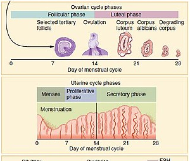 Figure Showing The Progression Of The Menstrual Cycle And The Different Hormones Contributing To It