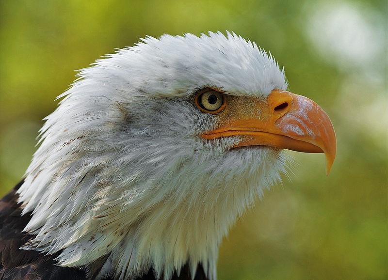 File:Haliaeetus leucocephalus LC0195 edit 1.jpg