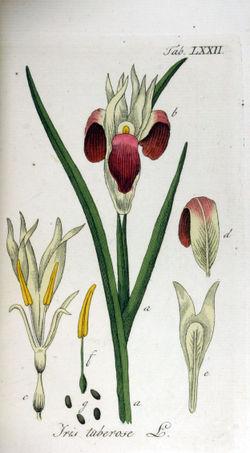 Iris planta  Wikipedia la enciclopedia libre