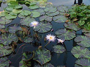 Lily pads in front of the New Orleans Museum o...