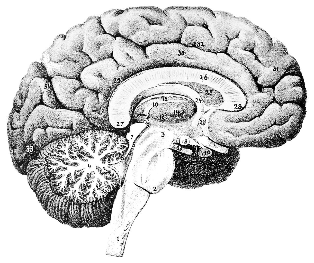File:PSM V46 D168 Mesial view of the human brain.jpg