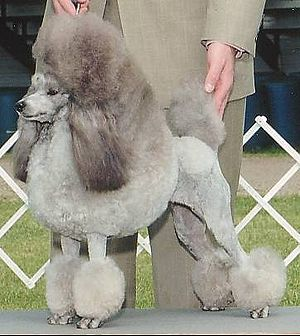 A silver Miniature Poodle stacked.