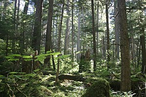 You can make this a longer adventure by walking along alki beach as well. Old Growth Forest Wikipedia