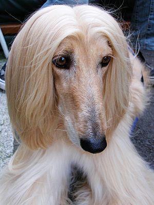 A cream Afghan Hound.