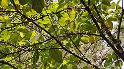 Ranting jambu tangkalak yang berbuah, Darmaga, Bogor, Jawa Barat