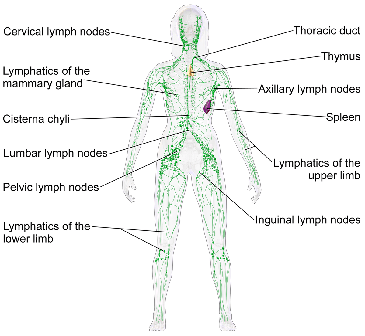 hight resolution of thoracic duct diagram