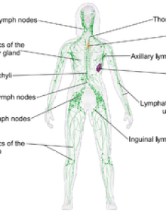 Lymphatic system also wikipedia rh enpedia