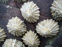 patellidae cellana - ornata - Ốc Vú Nàng