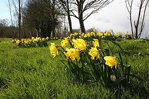 English: Daffodils at Farndon Daffodils by the...