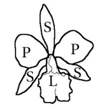 Orchidaceae — Wikipédia