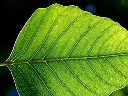 wiet kweken te weinig blad problemen canna aptus bio eko wietforum fotosynthese blad groei groen bladgroen kweken
