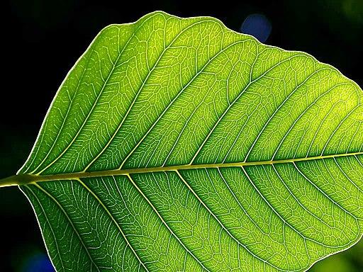 Leaf 1 web