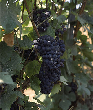 Pinot Meunier grapes in Champagne