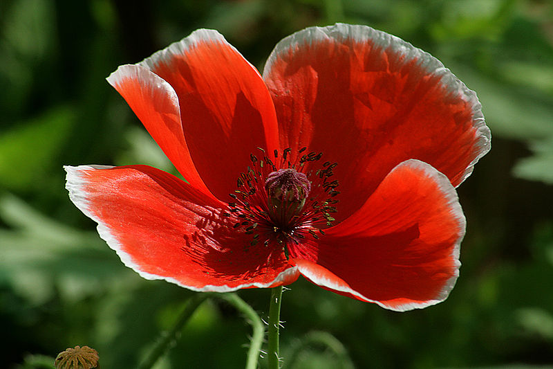 File:Red poppie.jpg