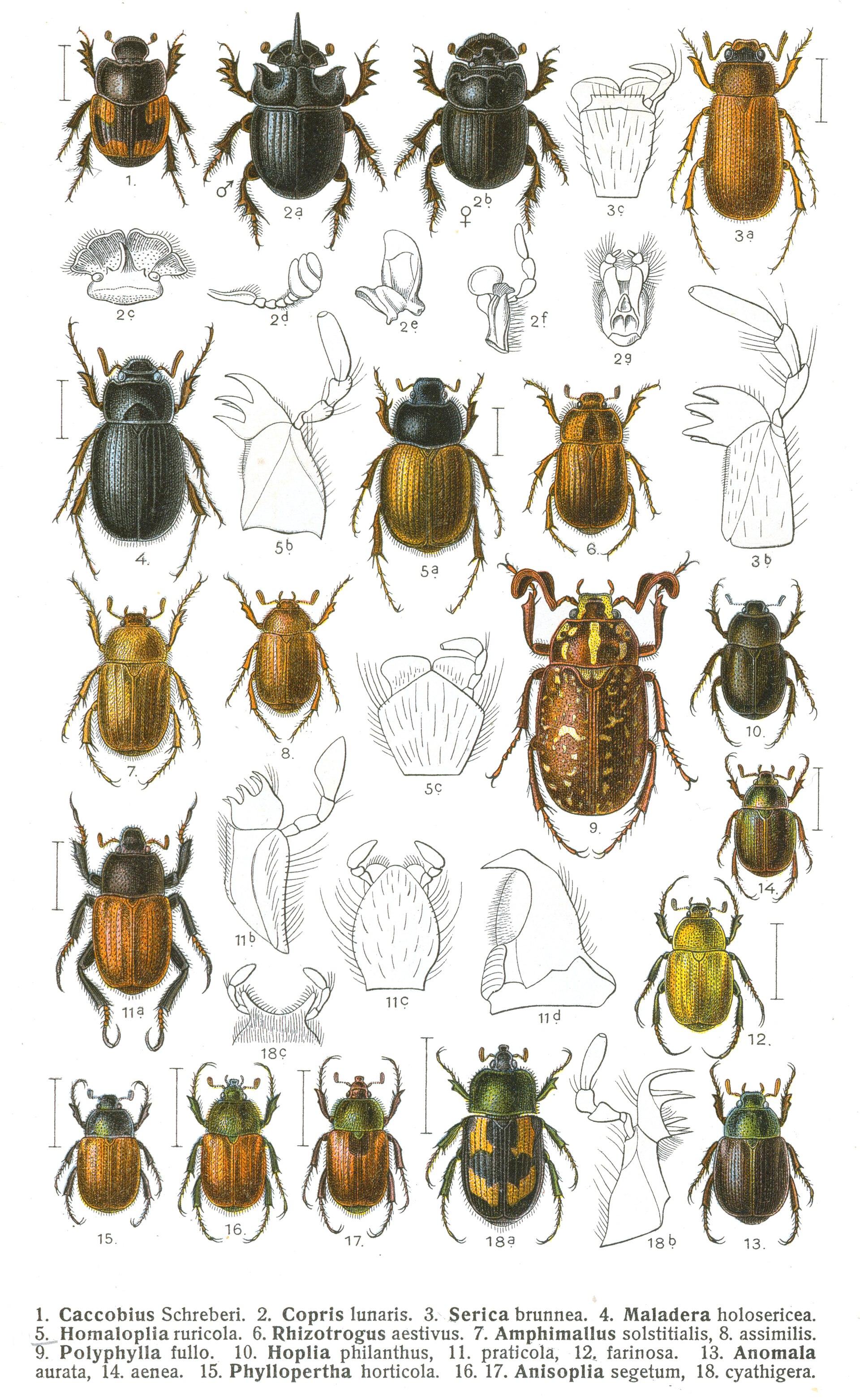 Scarabaeidae Wikipedia